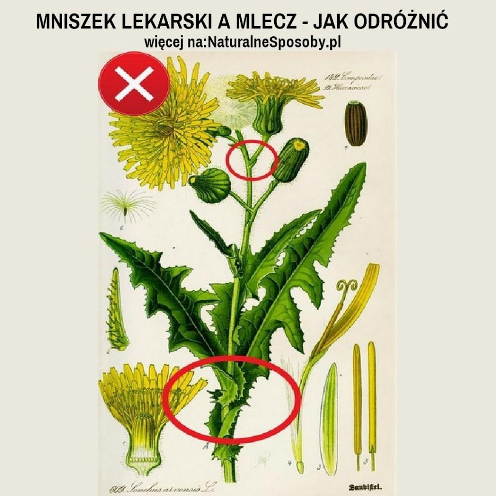 NaturalneSposoby.pl-mniszek-lekarski-a-mlecz-jak-odroznic