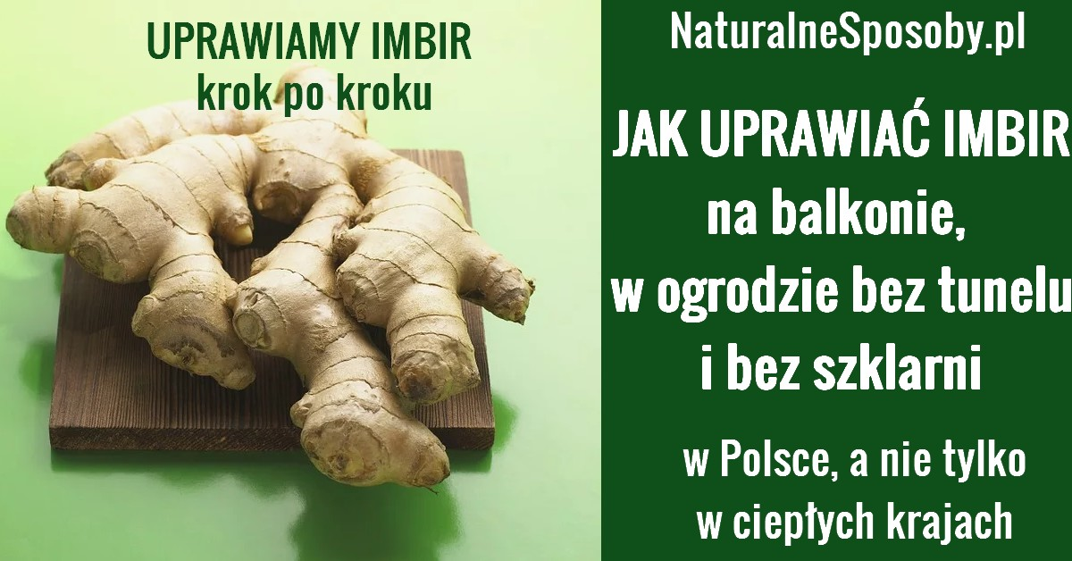NaturalneSposoby.pl-IMBIR-uprawa-imbiru-w-domu-ogrodzie